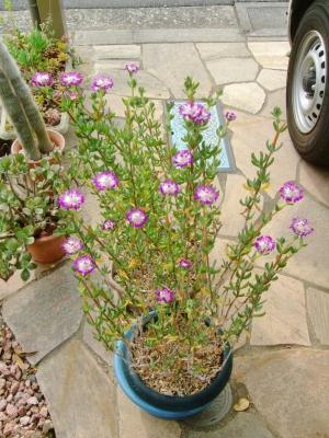 ケンシチア 千歳菊 (Kensitia pillansii) =エレプシア ピランシー(Erepsia pillansii)たくさん開花ちゅう~♪2014.06.03