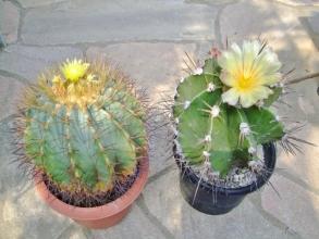 左:フェロカクタス 王冠竜(Ferocactusglaucescens)右:アストロフィツム 般若(Astrophytum ornatum)仲良く開花中~♪2014.05.02