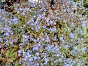 セダム・カウルレア~茎が赤くなり満開を迎えています♪1年草なのでこのまま枯れて種ができます♪2014.06.01