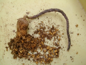 プテロカクタス 黒竜(こくりゅう)(Pterocactus tuberosus)塊根ができているのか気になって抜いて見るとムチムチでした~(^◇^)2014.03.19