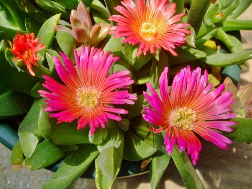 消しゴムみたいな肉厚葉~♪グロッチフィルム(Glottiphyllum sp.)黄色交じりな?濃いピンク花たくさん開花中(^-^)2014.04.11