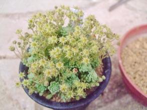 モナンテス パレンス(Monanthes pallens)お花がたくさん開花中♪2014.04.28