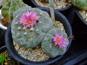 ロフォフォラ 烏羽玉(Lophophora williamsii) 2年前より大きくなてお花も濃いピンウ色です♪種が採れそう~\(^o^)/2014.04.27