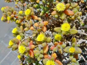 デロスペルマ・雷童(らいどう)黄色花~小輪花ですがイガイガ丸葉がポップです(^◇^)木になっています♪2014.05.31