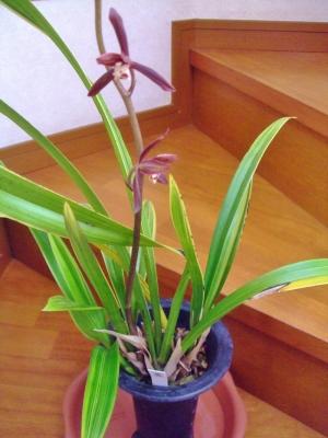 シンビジウム シネンセ 「金鳳錦(きんぽうにしき)」 室内で蕾が上がり現在開花中~甘くなんとも言えないお花の良い香り~♪2014.02.19