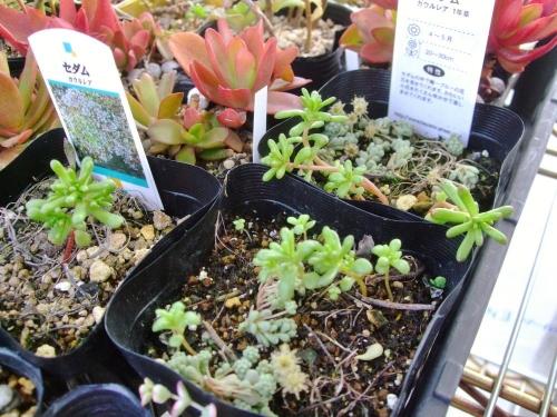 1年草のセダム カウルレア(Sedum caeruleum)去年の花終わりから何とか発芽して只今こんな感じです♪2014.03.17