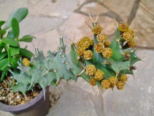 ユーフォルビア トルチラマ(Euphorbia Tortirama)ドリルの様に捻じれています♪お花も咲いて蜜を出しています。2014.05.23