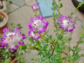 ケンシチア 千歳菊 (Kensitia pillansii) =エレプシア ピランシー(Erepsia pillansii)花の造りがたまらなく素敵~うっとりです(^◇^)2014.06.03
