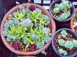 昨年作ったオロスタキスと斑入り三時草他寄せ植えが育ってきました♪2014.03.26