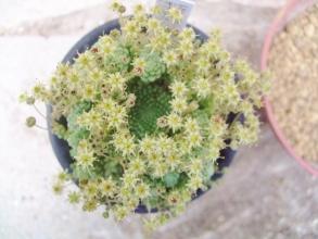 モナンテス パレンス(Monanthes pallens)お花がたくさん開花中♪~迷宮の様な親株が・・・気になります。2014.04.28