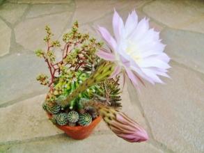 エキノプシス 世界の図(Echinopsis eyriesii f.variegata)1夜花ではなく、昼間も夜も丸1日間は開いて咲いてくれます♪淡いピンク花と蕾~2014.05.26