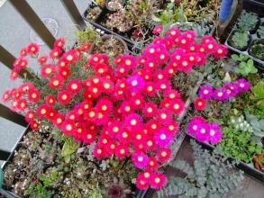ランプランタス・ロゼウス(濃いピンク)、バリアビリス(深紅花)思いっきり開花中~\(^o^)/2014.05.27