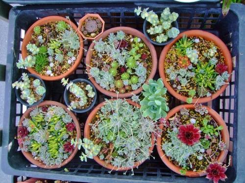 センペル、オロスタキス、セダム、斑入り三時草などの寄せ植え~只今水やりしてキレイに膨らんで来ました♪茶色ピンクな対馬岩レンゲは上段6cm鉢の中♪2014.04.12