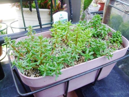 一年草セダム カウルレア(Sedum caeruleum) こぼれ種発芽苗の植え替え後\(^o^)/2014.04.26