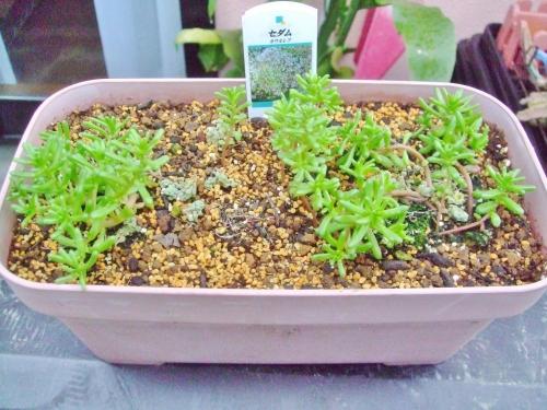 一年草セダム カウルレア(Sedum caeruleum) こぼれ種発芽苗を植え替え後4日目シャキ~ンと立ち直りました\(^o^)/お花が咲くまで頑張って欲しいです♪2014.04.10