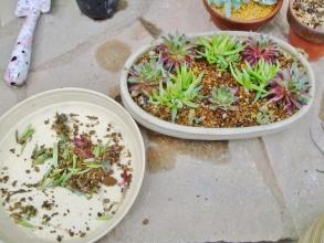 斑入り三時草とセンペルの寄せ植えを作って水やりしておいたのですが2014.04.01~良く見ると1か所腐っていました。取り除いて2014.04.17
