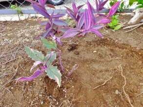 ギヌラの元株鉢をひっくり返すと蟻がいっぱい何か白いのを運んでいます(ToT)/~~~あ゛~これではダメなので地植えにして様子を見ることに~2014.08.26