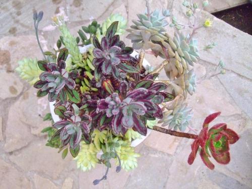 尖り葉エケベリア・紅司(べにつかさ)入りの多肉いろいろ寄せ植えまだまだ紅葉中です♪2014.04.03