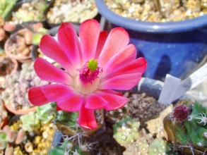 刺の痛そうなエビサボテン(Echinocereus)が赤いお花を咲かせています♪