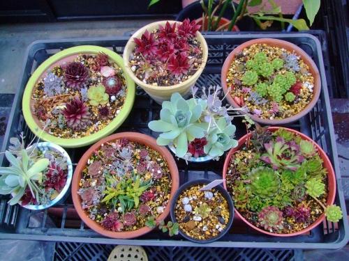 センペル、オロスタキス、セダム、斑入り三時草などの寄せ植え~只今水やりしてキレイに膨らんで来ました♪茶色ピンクな対馬岩レンゲは下段左から2番め鉢にいっぱいいます♪2014.04.12