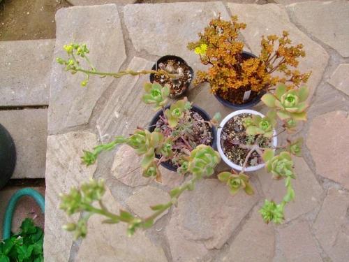 アエオニウムいろいろ花芽が付いてきました♪上左:スミッチー、上右:小人の祭り、下:夕映え~2014.05.27