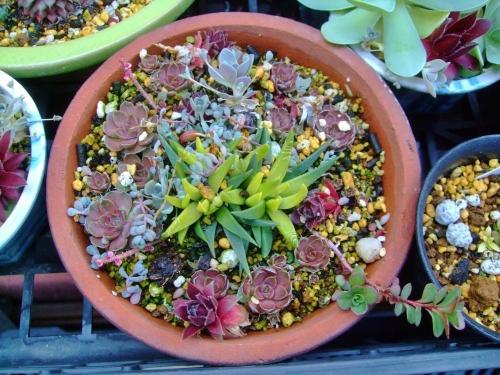 対馬岩レンゲがたくさん入った寄せ植え♪これから鉢いっぱいに茂ります♪2014.04.12