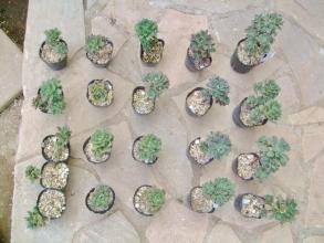 アエオイウムの実生苗が1年4カ月くらいでこんな感じです。2号ポット入り~もしや青貝姫(Aeonium castello-paivae)?2014.04.17