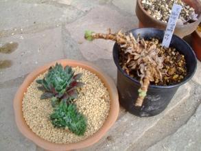 セッカセンペルは清潔な挿し芽用土にのせてしっかり乾かします(ToT)/~~~2014.04.19
