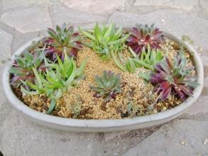 センペル、三時草寄せ植えは乾いた挿し芽用土を盛って乾くまで水やり控えます。2014.04.19