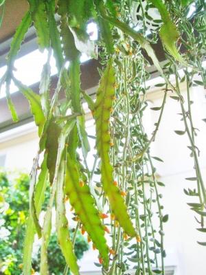 レピスミウム モナカンタム(Lepismium monacanthum)蕾がいっぱい付いています\(^o^)/2014.05.24
