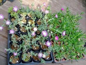 ケンシチア 千歳菊 (Kensitia pillansii)&カルボスローツス エドゥリス(Carpobrotus edulis)挿し木苗も花芽ができて咲いています♪2014.06.03