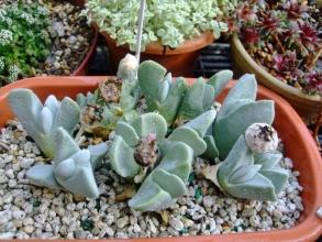 ケイリドプシス 神風玉(しんぷうぎょく)( Cheiridopsis pillansii )吊るしていたら忘れていて水やりたっぷりしました♪奥に蕾が1つ♪2014.03.07