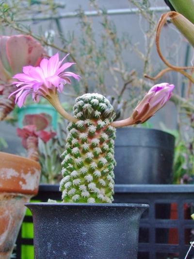 マミラリア テレサエ(Mammillaria theresae)あっという間に開花中♪大きなお花とたくさん上がる蕾(^-^)2014.05.03