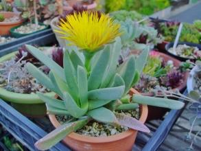 マカイロフィルム 大瑠璃鉾(おおるりほこ)(Machairophyllum albidum)いつ咲くのかしらと思いきや、夕方午後5時過ぎに開き始めました♪2014.04.26