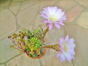 エキノプシス 世界の図(Echinopsis eyriesii f.variegata)1夜花ではなく、昼間も夜も丸1日間くらい開いて咲いてくれます♪2014.05.27