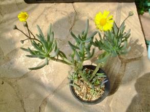 オトンナ オピマ( Othonna opima)かしら不明種?~南西アフリカ原産~草木みたいな多肉葉です♪去年より一回り大きくなりました♪2014.04.05