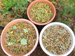 上:プレクトランサス・コレウス、右下:セダム?(クラッスラ)・リトルミッシー、左下:センペル他いろいろ寄せ植え♪2014.09.06