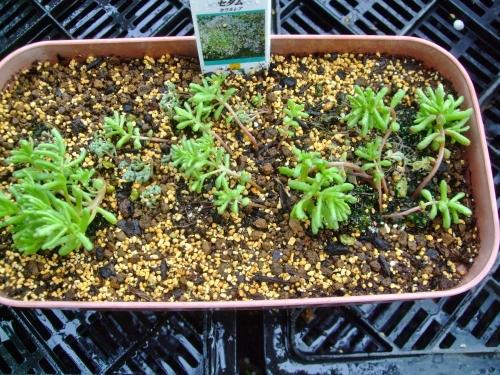 一年草セダム カウルレア(Sedum caeruleum)こぼれ種発芽苗、根土を崩さず一回り大きい鉢で植え替えます♪水やりしたら倒れてしまいました・・・(ToT)/~~~2014.04.07