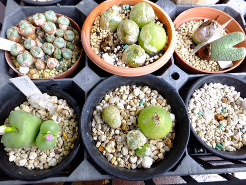 コノフィツム・ブルゲリー(conophytum burgeri)が2つ溶けて2つ分頭して、ピランシー(conophytum pillansii)も分頭してました~\(~o~)/2014.08.28