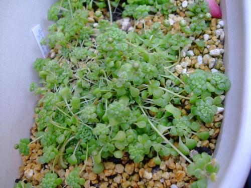 モナンテス ブラキカウロン( Monanthes brachycaulon.) ランナーで増えていきます♪花芽も上がってきました♪2014.03.31
