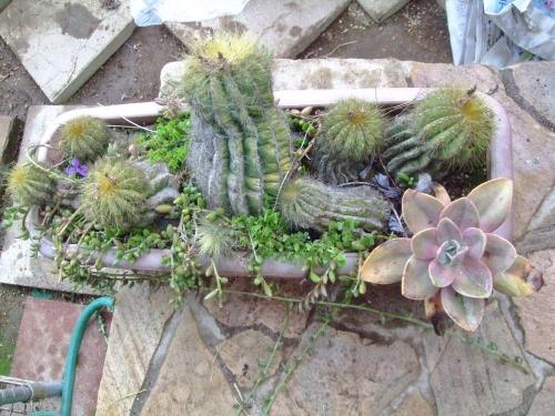 エリオカクタス マグニフィクス(Eriocactus magnificus) 英冠玉(えいかんぎょく)~雑草がはびこるのでお掃除します♪2014.04.07
