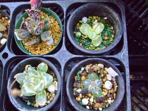 ブルビネ メセンブリアントイデス(Bulbine mesembryanthoides)花芽が上がってきました♪2014.03.23