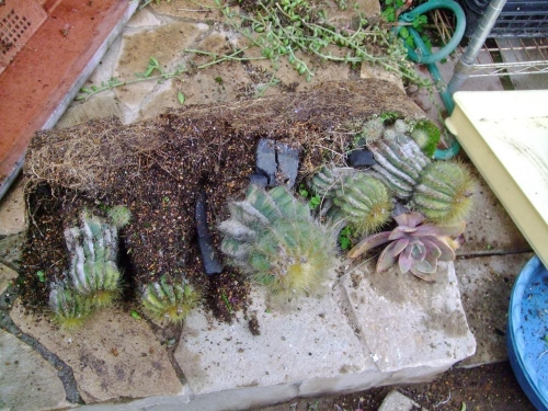 エリオカクタス マグニフィクス(Eriocactus magnificus) 英冠玉(えいかんぎょく)~ひっくり返して植え替えすることに・・・2014.04.07