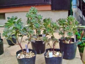 アエオニウム実生苗~多く枝分かれして木立しています。2014.04.17