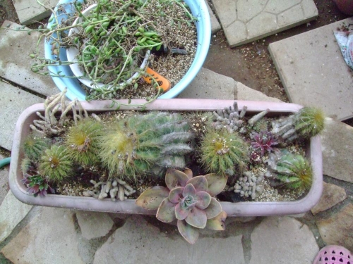 エリオカクタス マグニフィクス(Eriocactus magnificus) 英冠玉(えいかんぎょく)雑草抜いてついでに白檀サボテン、センペルビウムも植えました♪2014.04.07