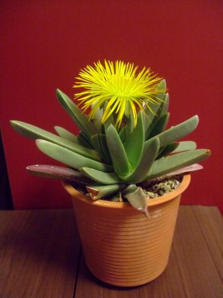 マカイロフィルム 大瑠璃鉾(おおるりほこ)(Machairophyllum albidum)いつ咲くのかしらと思いきや、夜午後8時に見に行くとキレイに全開花していました♪2014.04.26