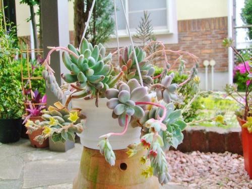 パキフィツムいろいろ寄せ植え花盛り(星美人、群雀)♪2014.05.07