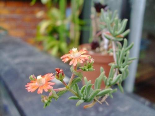 メストクレマ ツベローサム(Mestoklema tuberosum)挿し木苗にお花が咲きました♪日当たり赤オレンジが鮮やかです♪2014.05.20