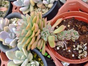 エケベリア ダーリーダール(Echeveria Dary Darl)葉縁がキレイです♪2014.05.30