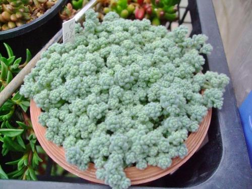 セダム 玉蛋白(たまたんぱく) (Sedum dasyphyllum var. suendermannii) びっしり生えています♪2014.05.16